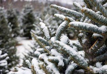 økologisk juletræ
