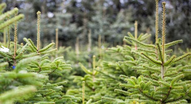 Hemgårdens økologiske juletræer