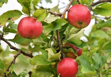 Æbler og sundhed